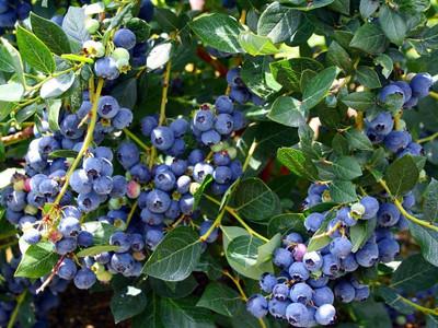 """Top Hat Dwarf Blueberry Plant - Bonsai/Patio/Outdoors - 4"""" Pot"""