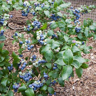 "Northland Blueberry Plant - Very Hardy - 4"" Pot"