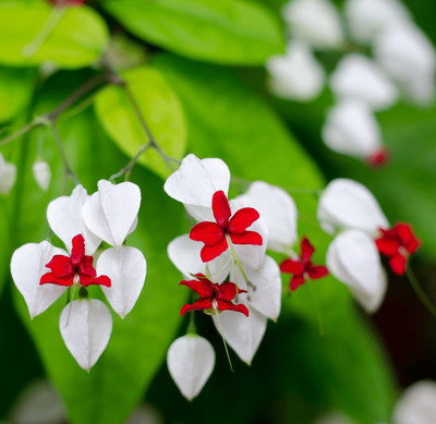"Tropical Bleeding Heart Clerodendrum thomsoniae - 2.5"" Pot"