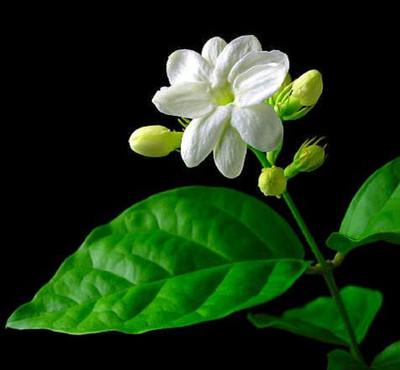 """Ohio Grown Arabian Tea Jasmine Plant - Maid of Orleans - 2.5"""" Pot"""