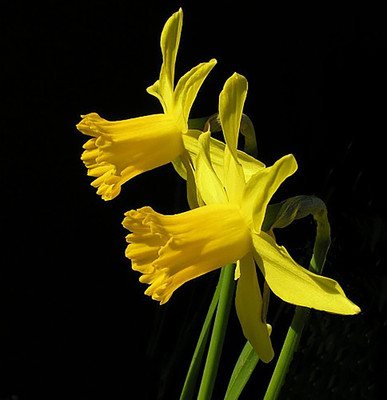 February Gold Narcissus/Daffodil - Dwarf - 8 Bulbs - 12/14 cm Bulbs