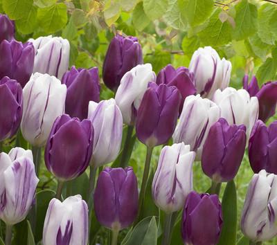 Purple Blend Triumph Tulip Mix 25 Bulbs -Lush Violet & White Hues- 12/+ cm Bulbs