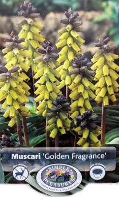 Golden Fragrance Grape Hyacinth 3 Bulbs - Muscari - 9/10 cm Bulbs