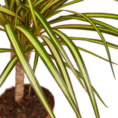 "Ray of Sunshine Madagascar Dragon Tree - Dracaena marginata - 6"" Pot"