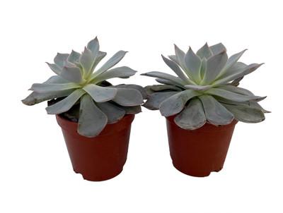 "Canadian Succulent Plant - Echeveria - 2 Pack in 2"" Pots"