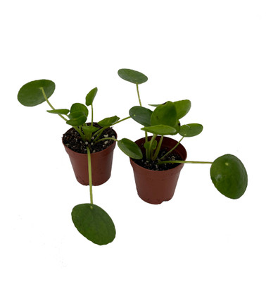 """Hirt's Gardens Chinese Money Plant - Pilea peperomiodes - 2 Plants in 2"""" Pots"""