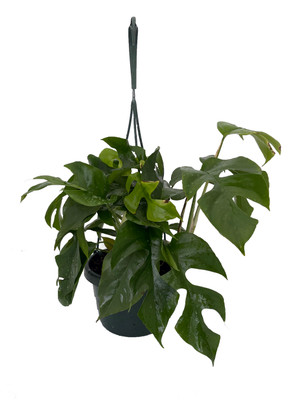 "Ultra Rare Ginny Philodendron - Rhaphidophora tetrasperma -6"" Hanging Basket"