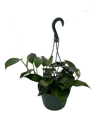"Dragon Tail Philodendron - Rhaphidorphora decursiva - 8"" Hanging Basket"