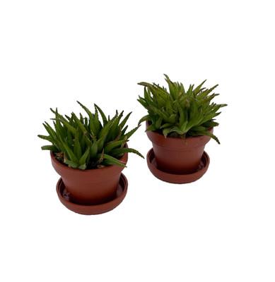 """Narrow Leaved Haworthia -  Haworthia anguvstifolia - 2 Plants in 1"""" Pots"""