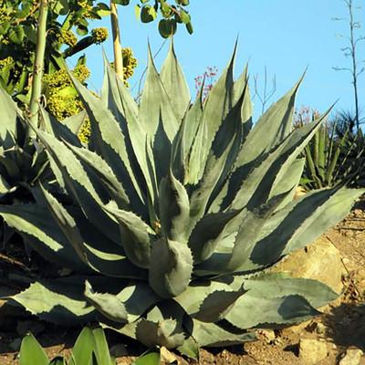 "Supreme Agave Plant - 2.5"" Pot - Agave colorata"