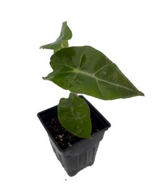 """Dwarf Amazonica Alocasia - Houseplant - 2.5"""" Pot"""
