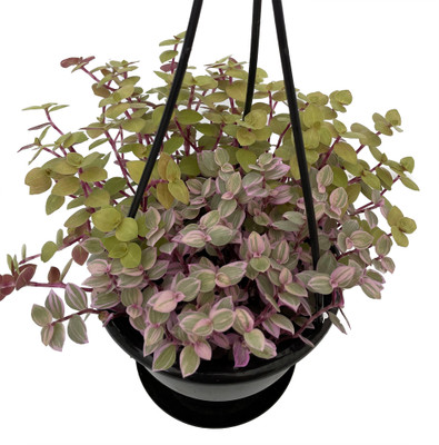 "Pink Lemonade Mix Bolivian Jewel - Callisia repens - 4.5"" Black Hanging Basket"