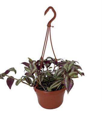 "Sterling Silver Tradescantia - Purple & Silver - 6"" Hanging Basket"