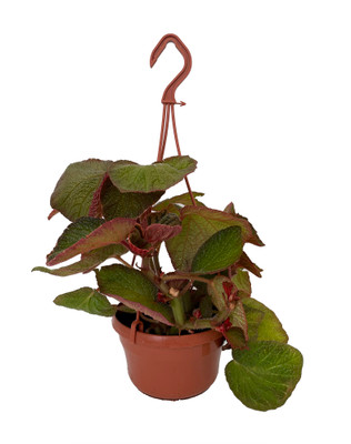 """Morocco Begonia Plant - 6"""" Hanging Basket - Collector's Series"""