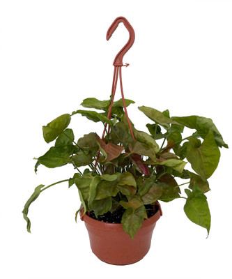 "Bronze Arrowhead Plant - Syngonium/Nepthytis - 6"" Hanging Basket"