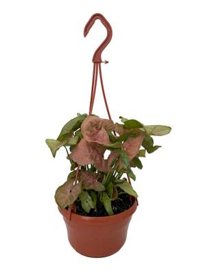 "Neon Robusta Arrowhead Plant - Syngonium/Nepthytis - 6"" Hanging Basket"