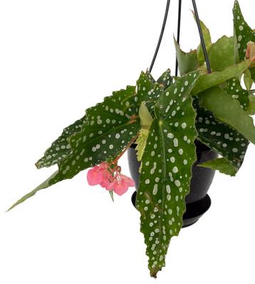 "My Special Angel Rex Begonia Plant - 4.5"" Black Hanging Basket"