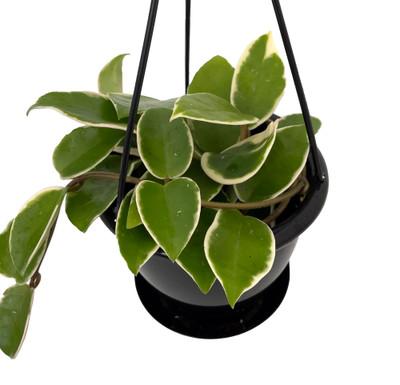 """Krimson Queen Wax Plant Hoya - 4.5"""" Black Hanging Basket - Collector's"""