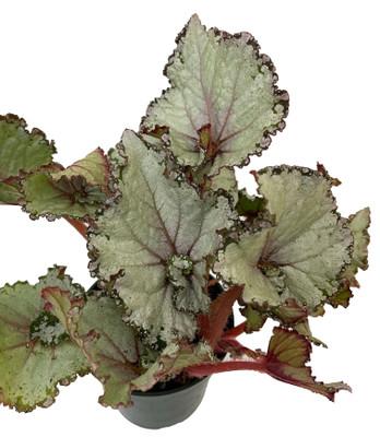 "Arctic Twist Rex Begonia Plant - 4"" Pot - Great Houseplant"