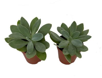 "Mountain Glory Succulent Plant - Senecio - 2"" Pot"