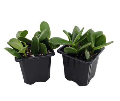 "Jade Plant - Crassula ovuta - Easy to Grow - 2 Plants - 3"" Pots"