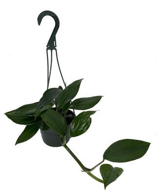"SALE - Dragon Tail Philodendron - Rhaphidorphora decursiva - 6"" Hanging Basket"