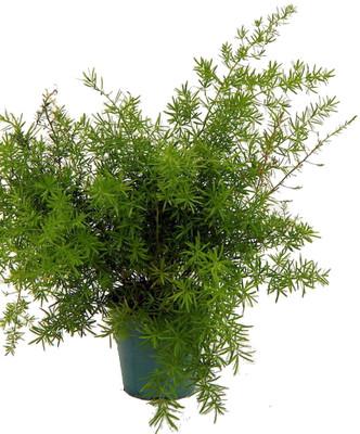 """Asparagus Sprengerii Fern - Asparagus - 4"""" Pot - Easy to Grow - Great Houseplant"""