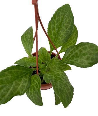 "Rare Moonlight Asian Violet - Primulina - 4"" Mini Hanging Basket"