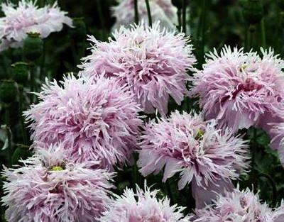 Giant Lilac Pompom Somniferum Poppy 200 Seeds