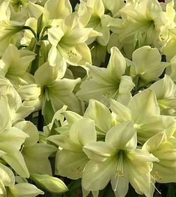 Lemon Star Amaryllis - Lemon Yellow - 28/30 cm Bulb - Immediate Shipping