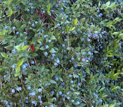 """Biblical Myrtle Plant - Myrtus communis - 4"""" Pot - Ancient Herb"""