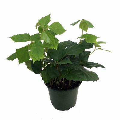 """Grape Ivy Plant - Cissus rhombifolia - Great House Plant - 4"""" Pot"""