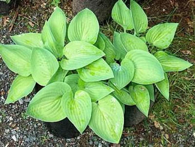 August Moon Hosta - Golden Heart Shaped Foliage - Gallon Pot