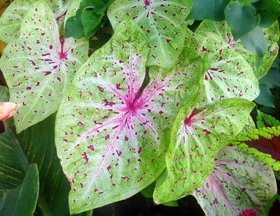 Miss Muffet Caladium - 3 Bulbs - Chartreuse with Red Specks