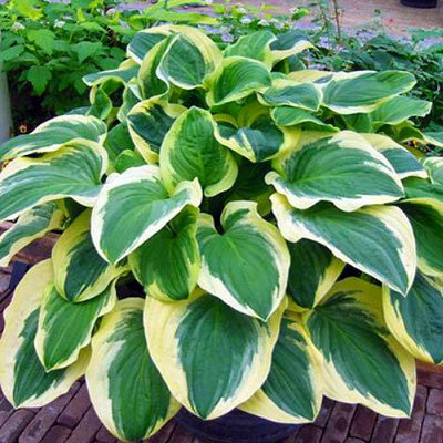 Diana Rememered Hosta - Quart Pot - Fragrant White Flowers