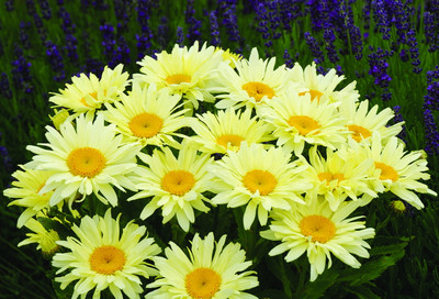 Banana Cream Shasta Daisy - Leucanthemum - Compact Plant - Gallon Pot