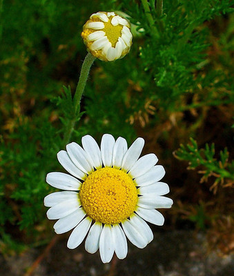 "Roman Chamomile Herb - Chamaemelum nobile - Herb - Lawn Substitue - 3"" Pot"