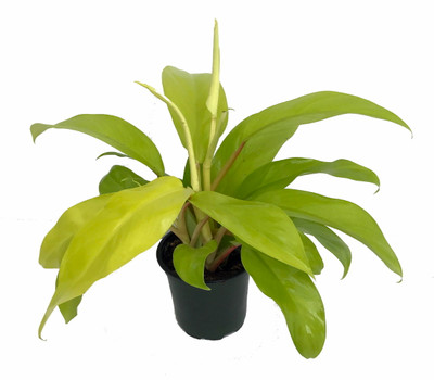 """Upright Lemon Lime Philodendron - Easy to Grow - 4"""" Pot - Trending"""