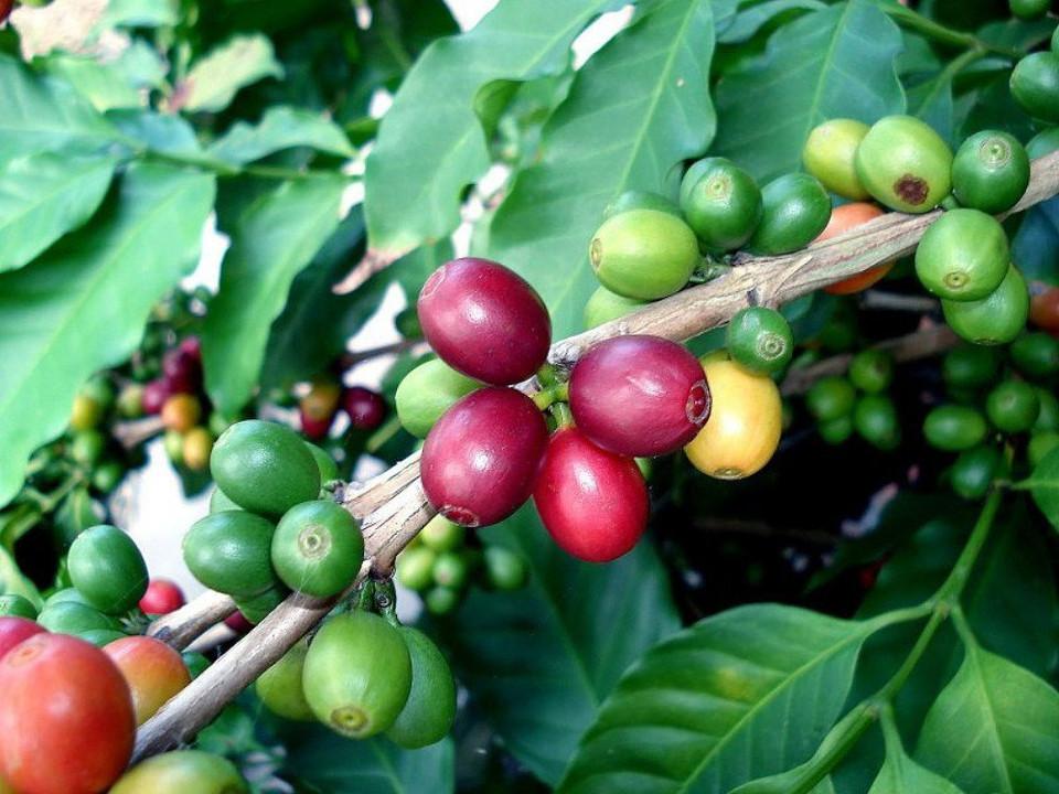 "Arabica Coffee Bean Plant - 4"" Pot - Grow & Brew Your Own Coffee Beans - Hirt's Gardens"