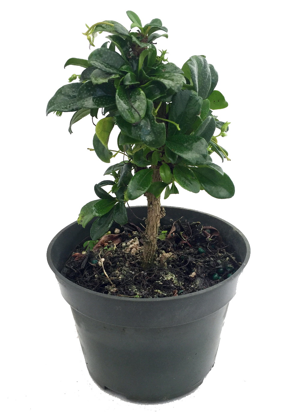 Fukien Tea Bonsai Tree Carmona 4 Pot Indoor Houseplant Hirt S Gardens