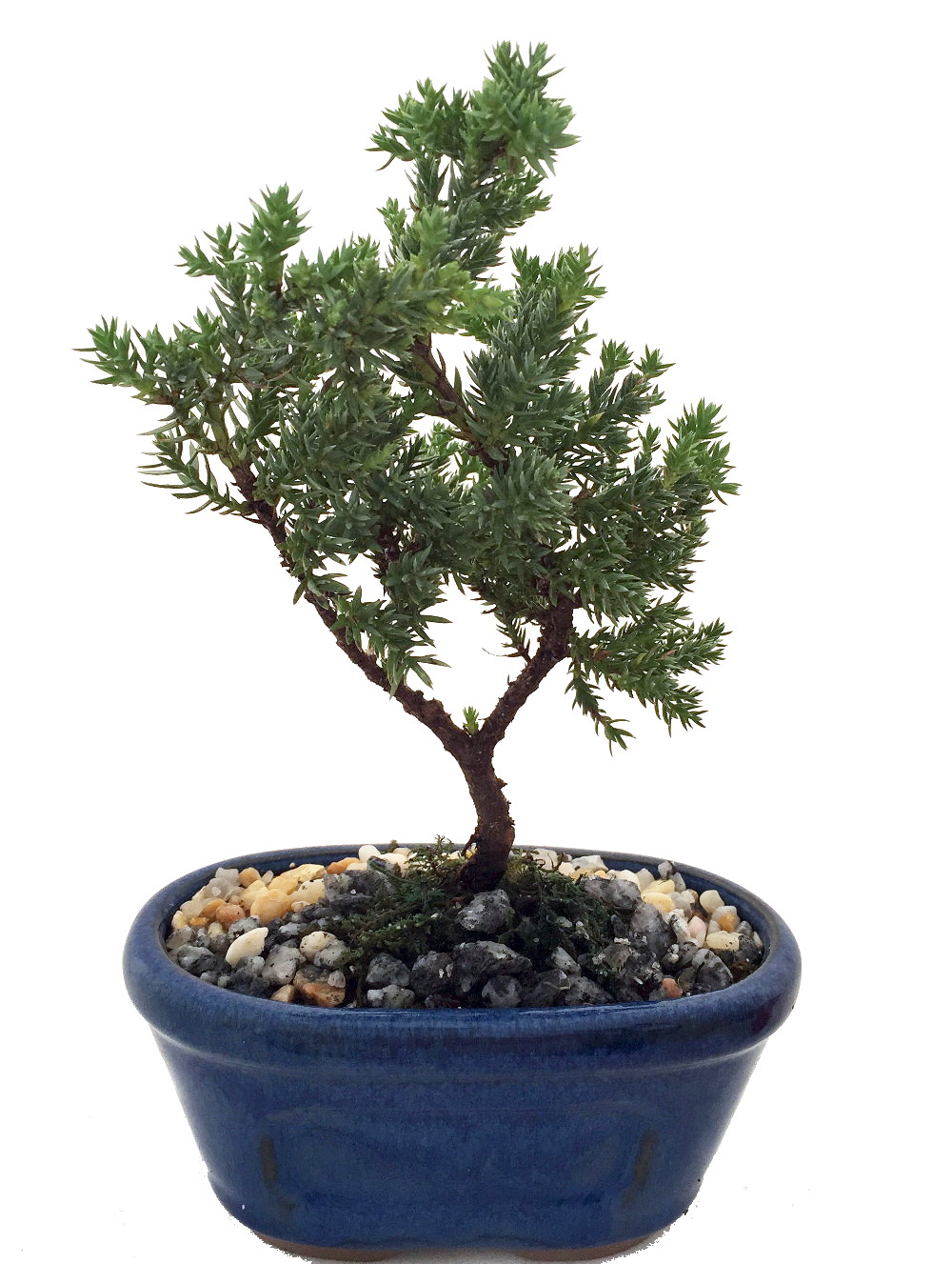 Miniature Japanese Juniper Bonsai Tree Ceramic Bonsai Pot Hirt S Gardens