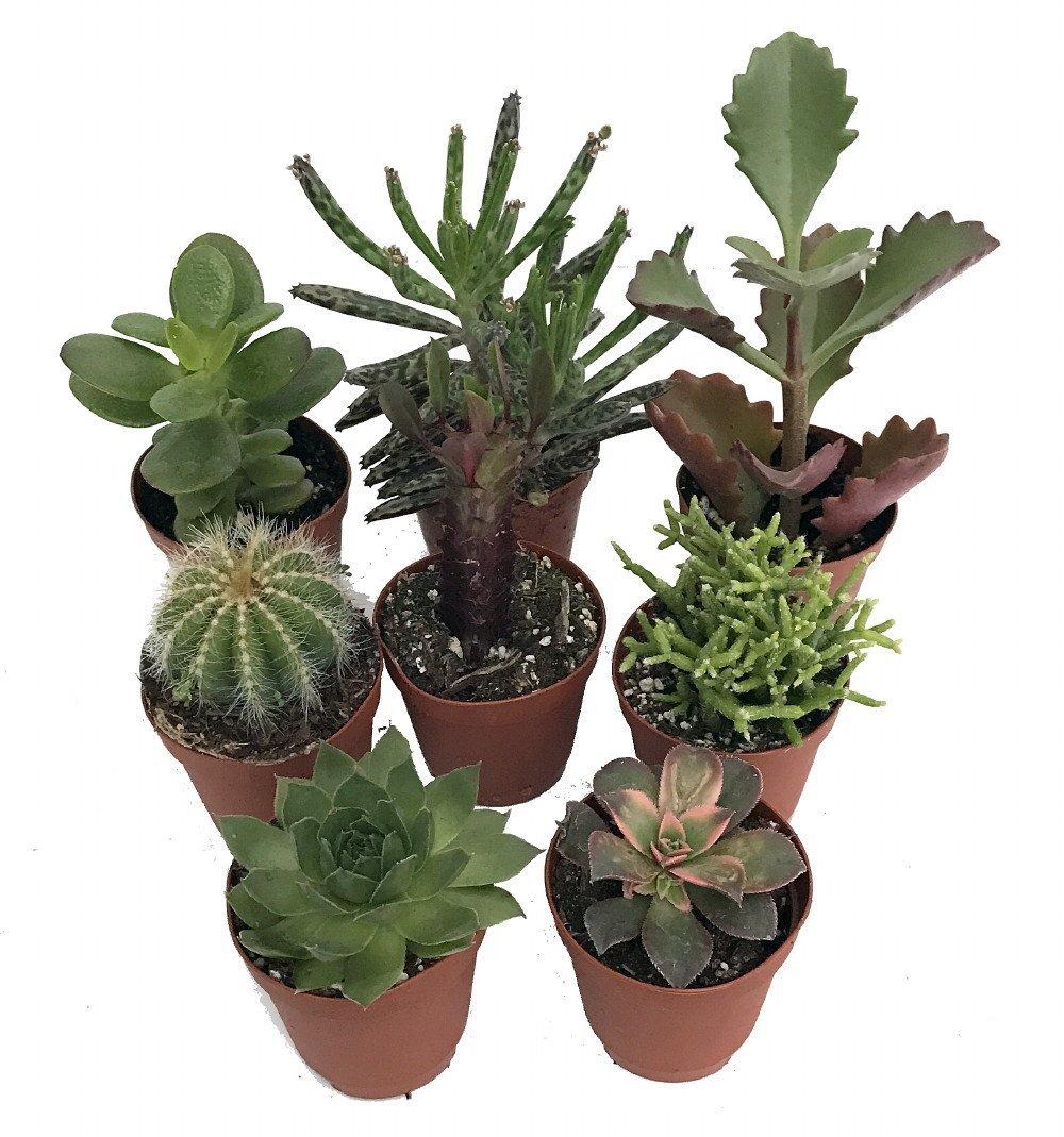 Instant Cactus Succulent Collection 8 Plants Terrarium Fairy Garden 2 Pots Hirt S Gardens