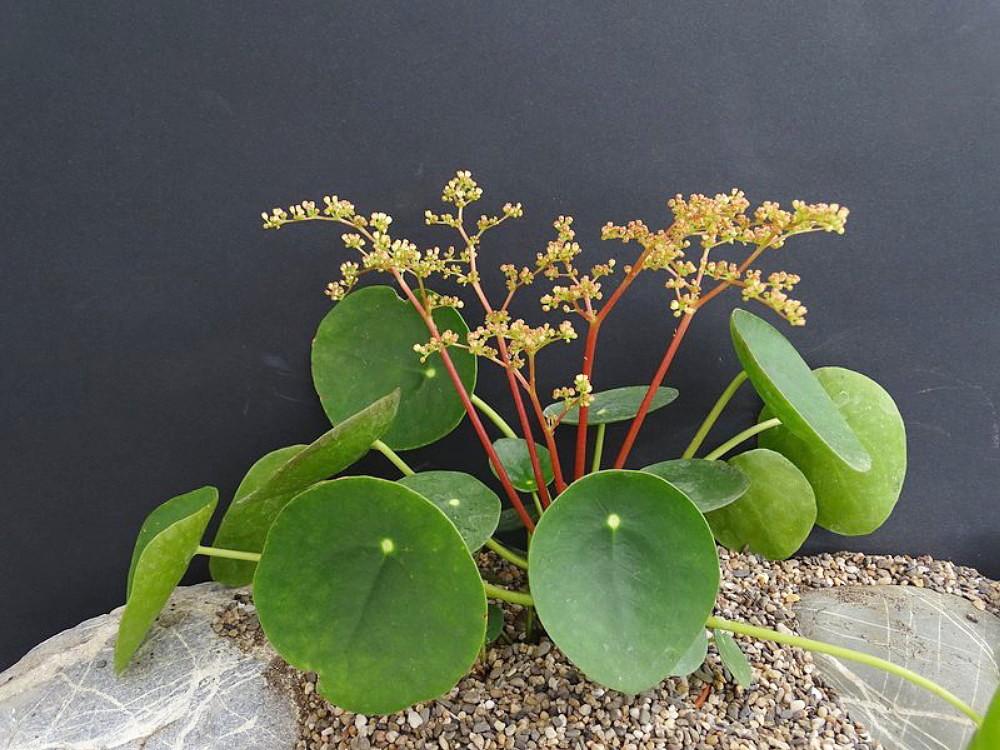 hirt s gardens chinese money plant pilea peperomioides 4 pot hirt s gardens hirt s gardens chinese money plant pilea peperomioides 4 pot