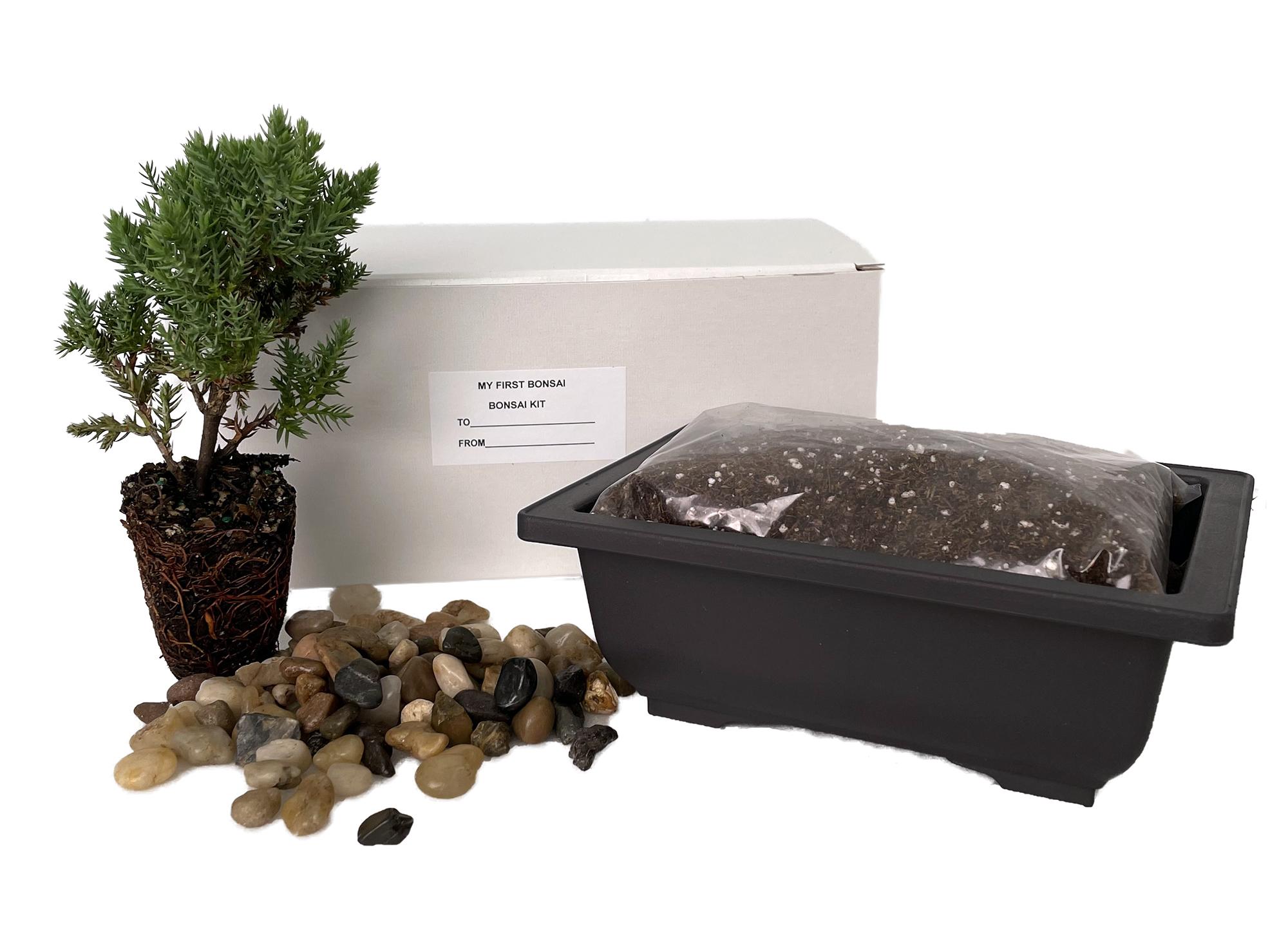 My First Bonsai Tree Kit Plus Live Japanese Juniper Tree Hirt S Gardens