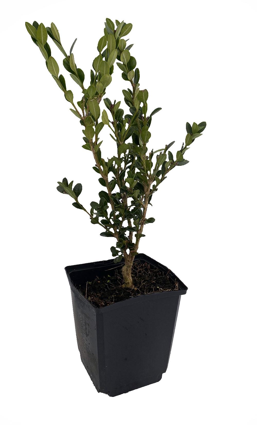 Common Boxwood Bonsai Tree Buxus Sempervirens Indoor Bonsai 5 Pot Hirt S Gardens