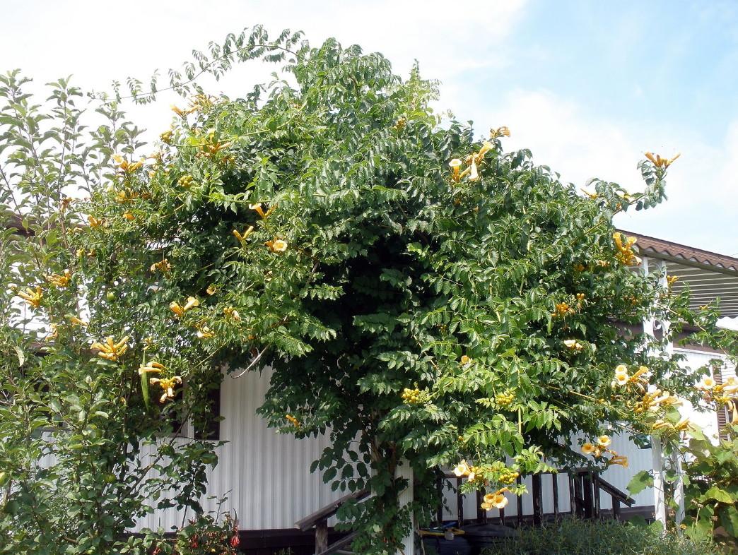 2.5 Pot Yellow Trumpet Vine Plant Campsis radicans /'Flava/'