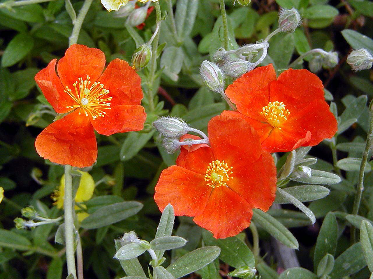 Helianthemum New! Quart Pot Ben Fhada Sun Rose