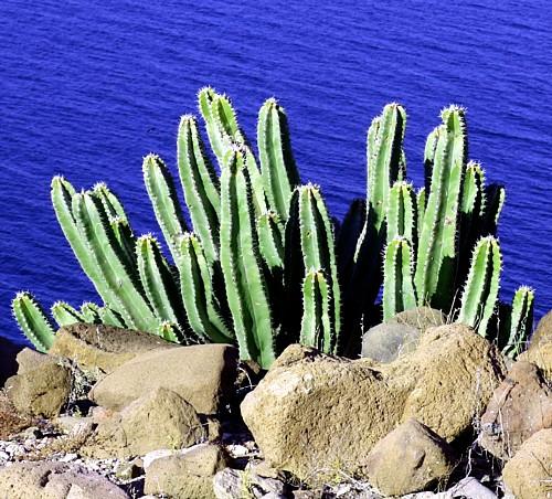 4 Pot Easy to grow! Creeping Cactus Euphorbia guentheri