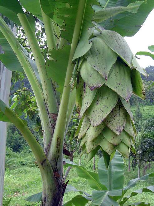 10 graines Ensete Glaucum Snow banana seeds hardy rustique