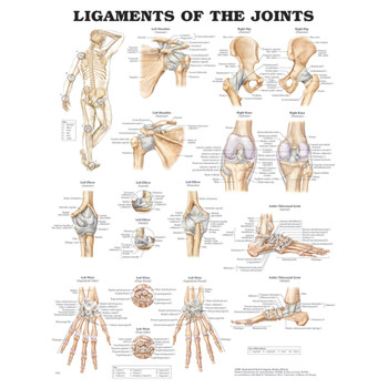 "LIGAMENTS OF THE JOINTS ANATOMICAL CHART 20"" X 26"", STYRENE PLASTIC"